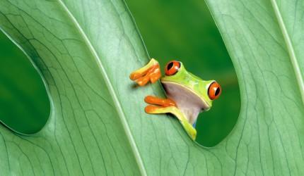 Frog peeping through leaf wallpaper