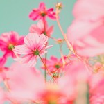 Bright pink flowers on a blue background