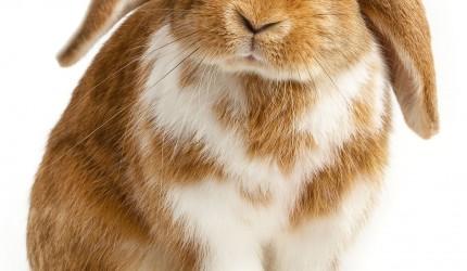 Adorable Bunny HD Wallpaper