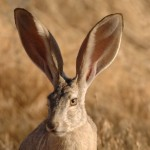 Wallpaper of Black Tailed Jackrabbit