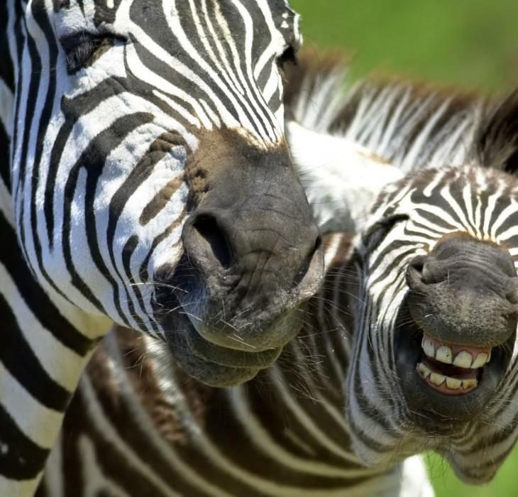 Funny HD Laughing Zebra