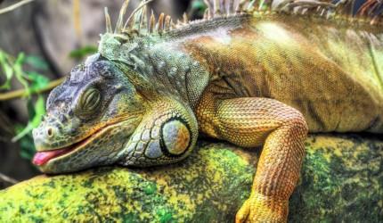 Sleeping Chameleon