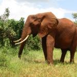 Standing Tall Elephant