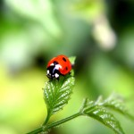 Tiny Ladybird Wallpaper