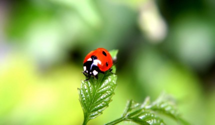 Tiny Ladybird Wallpaper