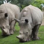 Two Hungry Rhinos